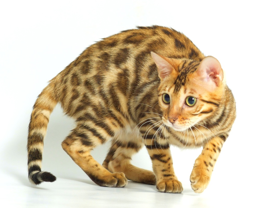 Lap Leopard Bengals - Bengal Kittens for Sale & Breeder in New England