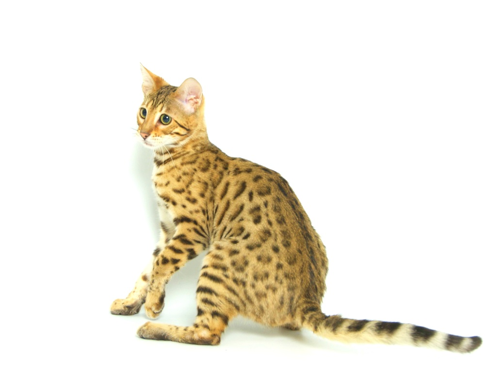 How to care for a Bengal kitten - Lap Leopard Bengals