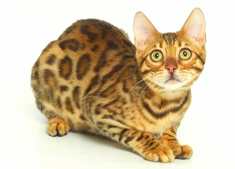 Leopard Bengal Breeder with Kittens for Adoption - Lap