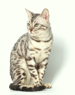 Snow Leopard Bengal Cats For Sale